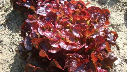 Salade-Feuilles-de-Chêne-Rouge
