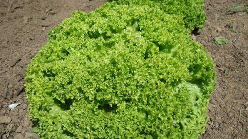 Salade-Frisée-Verte