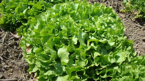 Salade-Scarole