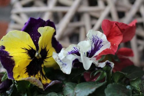 pensee-fleurs